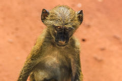 Affeafrikaner Stockbild