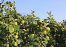 Affeapfel auf dem Baum Lizenzfreies Stockbild