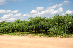 Affeapfel- oder -jujubebäume im Garten Stockbilder