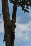 Affeaufstieg der Baum Lizenzfreie Stockfotos