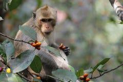 Affeblicklebensmittel auf Baum Stockbilder