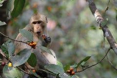 Affeblicklebensmittel auf Baum Stockfotos