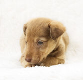 Affecting the puppy. On a white bedspread Royalty Free Stock Image