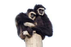 Affection. Two gibbons hugging on a high post Stock Photo
