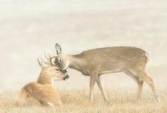 Affection de cerfs communs photo stock