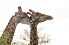 Affection de girafe Photo stock