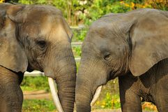 Affection between elephants Royalty Free Stock Image