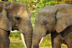 Affection entre les éléphants Image libre de droits