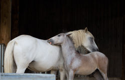 Affection. Foal caresses his mother Royalty Free Stock Photography