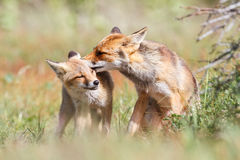 Affection pair of foxes. Pair of affectionate foxes in green countryside Stock Photo
