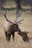 Affection to cow by bull elk Royalty Free Stock Image