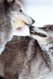 Affection of two timber wolves Stock Photo