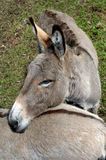 Affectionate Animal Friends. Two donkeys in the Panaewa Rain Forest Zoo on the Big Island of Hawaii show affection for one another. These two donkey's having a stock photo