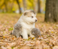 Affectionate cute kittens and alaskan malamute puppy in autumn park.  Stock Images