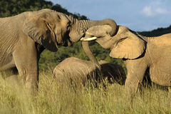 Affectionate Elephants Royalty Free Stock Photography