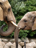 Affectionate elephants Stock Photos