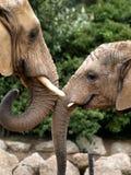 Affectionate elephants Stock Photos