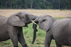 Affectionate elephants touch trunks Stock Photography