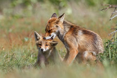 Affectionate foxes. Two affectionate foxes in countryside nuzzling each other Royalty Free Stock Photos