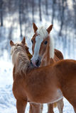 Affectionate horses. Close up of to affectionate horses nuzzling each other, wintry background royalty free stock photo