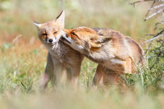 Affectionate pair of foxes. Portrait of affectionate pair of foxes nuzzling in countryside Stock Photography