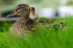 Affectionate relationship between mom and her son or daughter. Lovely baby duck nestles to the head of her / his mom. Ideal, full of love relationship between royalty free stock images