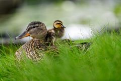 Affectionate relationship between mom and her son or daughter. Lovely baby duck nestles to the head of her / his mom. Ideal, full of love relationship between stock images