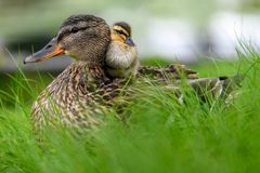 Affectionate relationship between mom and her son or daughter. Lovely baby duck nestles to the head of her / his mom. Ideal, full of love relationship between royalty free stock photography
