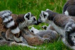 Kissing ring tailed lemurs, lemuridea, lemur catta. royalty free stock photo