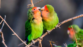 Affectionate Rosy faced Lovebirds royalty free stock images