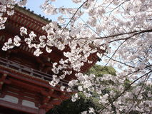 Affective temple. Cherry blossom on temple daigoji's portal, kyoto, japan royalty free stock image
