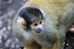 Affeeichhörnchenschwarzes mit einer Kappe bedeckt Stockfotografie