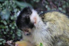 Affeeichhörnchenschwarzes mit einer Kappe bedeckt Lizenzfreies Stockfoto
