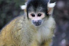 Affeeichhörnchenschwarzes mit einer Kappe bedeckt Lizenzfreie Stockfotos