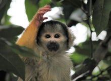 Affeeichhörnchenschwarzes mit einer Kappe bedeckt Lizenzfreie Stockfotografie