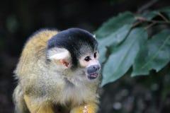 Affeeichhörnchenschwarzes mit einer Kappe bedeckt Stockfoto