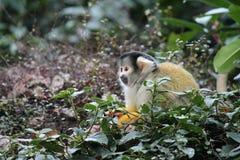 Affeeichhörnchenschwarzes mit einer Kappe bedeckt Lizenzfreie Stockbilder