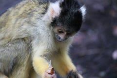 Affeeichhörnchenschwarzes mit einer Kappe bedeckt, Wurm essend Lizenzfreies Stockbild