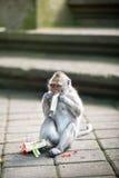 Affeessen Balineseangebote zu den Göttern Stockfotos