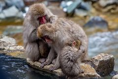 Affefamilie bis zum den heißen Quellen Stockfotos