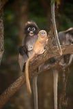 Affefamilie, die auf Baum sitzt (Presbytis-obscura Reid). Lizenzfreie Stockfotos
