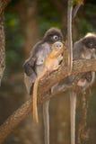 Affefamilie, die auf Baum sitzt (Presbytis-obscura Reid). Stockfotos