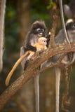 Affefamilie, die auf Baum sitzt (Presbytis-obscura Reid). Lizenzfreies Stockbild