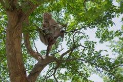 Affefamilie, die auf dem Baum zusammenlebt Stockbilder