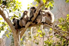 Affefamilie, die auf dem Baumstillstehen sitzt (Presbytis-obscura Reid). Stockbilder