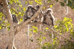 Affefamilie, die auf dem Baumstillstehen sitzt (Presbytis-obscura Reid). Lizenzfreie Stockfotos