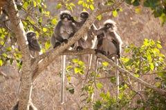 Affefamilie, die auf dem Baumstillstehen sitzt (Presbytis-obscura Reid). Stockfotos