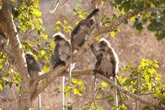 Affefamilie, die auf dem Baumstillstehen sitzt (Presbytis-obscura Reid). Stockfoto