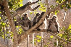 Affefamilie, die auf dem Baumstillstehen sitzt (Presbytis-obscura Reid Stockfotografie