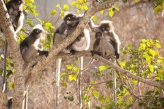 Affefamilie, die auf dem Baumstillstehen sitzt (Presbytis-obscura Reid). Lizenzfreie Stockfotografie